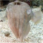 600px-PharoahCuttlefish-HeadOnView-MonteraryAquarium-April2-07