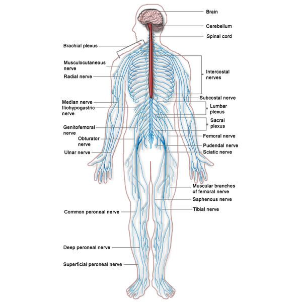How do nerve cells work info on nerve cells the nervous system nervous system diagram ccuart Choice Image
