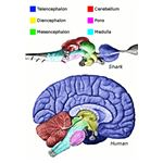 416px-Vertebrate-brain-regions - Cerebrum (also called the Telencephalon) is coloured blue - author Looie496 3rd October 2008 - released into the public domain in the US
