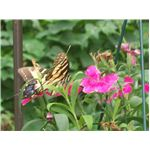 Butterfly on flowers c. 7-09 by Sally Odum