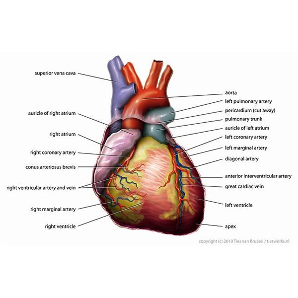 How Does the Circulatory System Work - An Overview