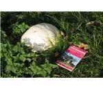 Puffball Edible Wild Mushroom