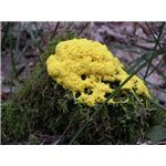 Fungus yellow