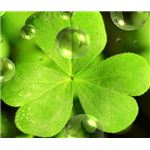 st-patricks-day-wallpaper-cloverwaterdrops
