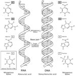 The differences between RNA and DNA.