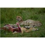 Cheetah with Impala