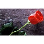 rose-backgrounds-rose-on-concrete