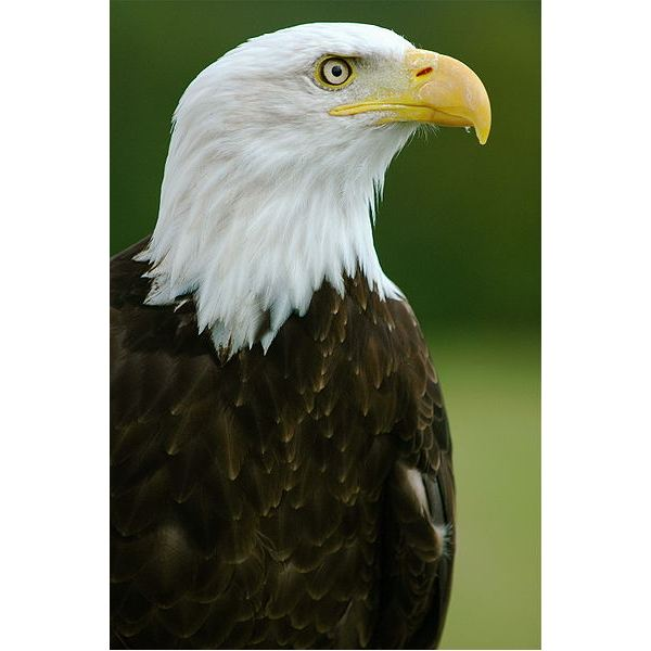 an overview of the bald eagle species of the american bird Bald eagle leaves endangered species list the interior department is removing the american bald eagle from protection under the endangered species act once almost wiped out by hunters and ddt.