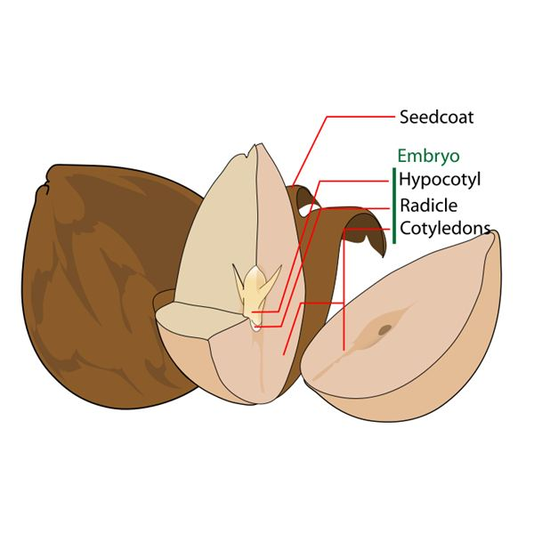 The Parts of a Seed Homework Help: The Seed Coat, Endosperm ...