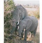 elephant5a