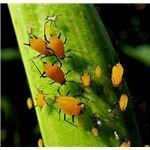 Ladybug eating larvae