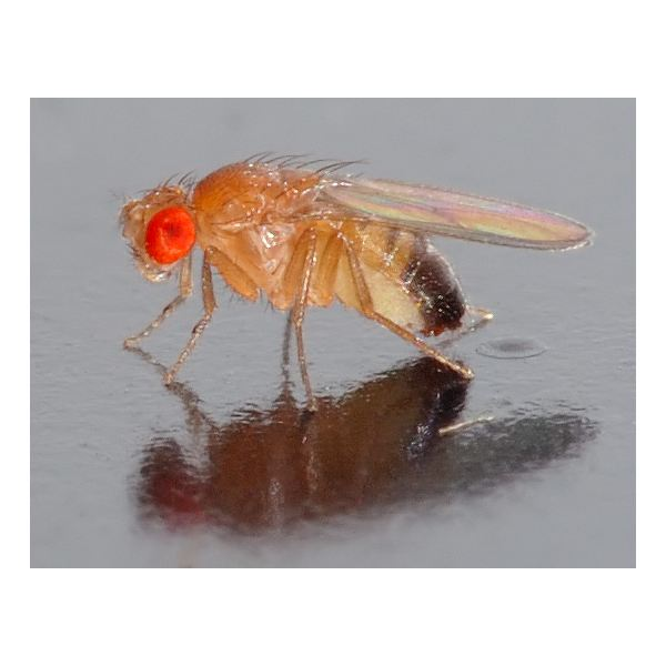 patterns of inheritence in drosophila melanogaster The fruit fly drosophila melanogaster is an excellent model system for higher  eukaryotic  some of the mutations display a complex insertion pattern first,  one.
