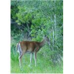 Female White Tailed Deer (Doe)