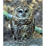 Endangered Mexican Spotted Owl