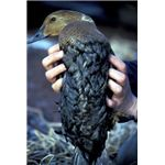 407px-King Eider covered in oil