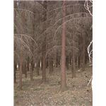 red spruce trees dead