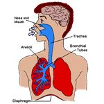 Early Childhood Lesson Plans + Human Body - lungs sklung
