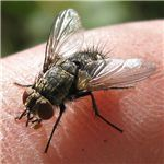 Tachinid fly - Credit: Wikimedia Commons