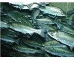 800px-Chinook salmon, Oncorhynchus tshawytscha