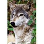 Timber Wolf (Gray Wolf)