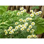 Feverfew, a plant used to attract helpful insects