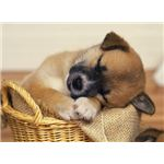 Puppy in Basket Wallpaper
