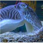 Cuttlefish can rapidly change color patterns at will.