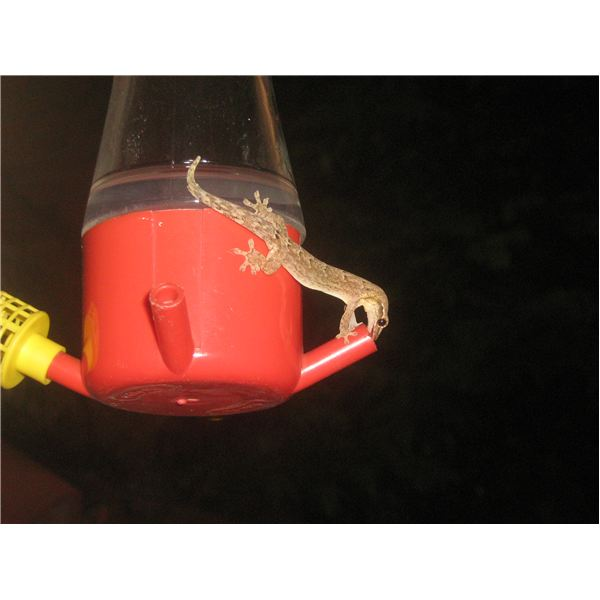 How To Attract Hummingbirds. Lizard Feeding From HB Feeder IMG 7202