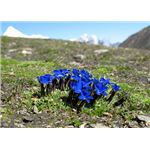 flowers of gentian root