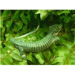 Arboreal Alligator Lizard Abronia graminea