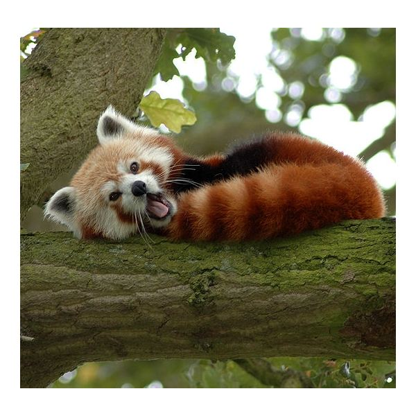 Interesting and Unusual Facts about the Red Panda: Learn about ...