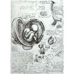 436px-Leonardo da Vinci Studies of Embryos