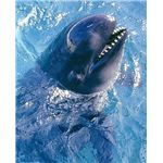484px-Pseudoorca Crassidens false killer whale