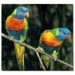 Lorikeet Birds