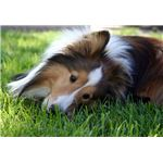 Cute Sheltie Picture