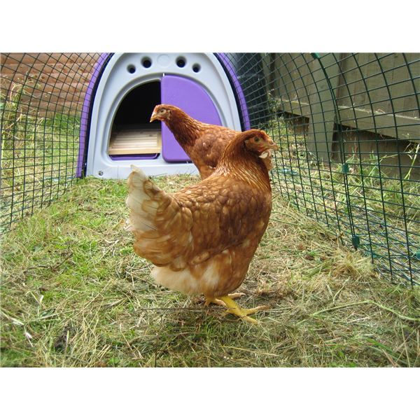 Caring For Chickens In The Winter: Do They Need