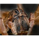 Wolf Spider - Image Credit: http://www.publicdomainpictures.net/view-image.php?image=3186&picture=wolf-spider