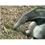 Giant anteater searching for food.