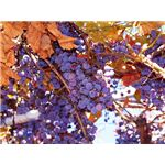 purple concord grapes