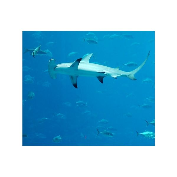 Great Hammerhead Shark Facts for Kids & Adults