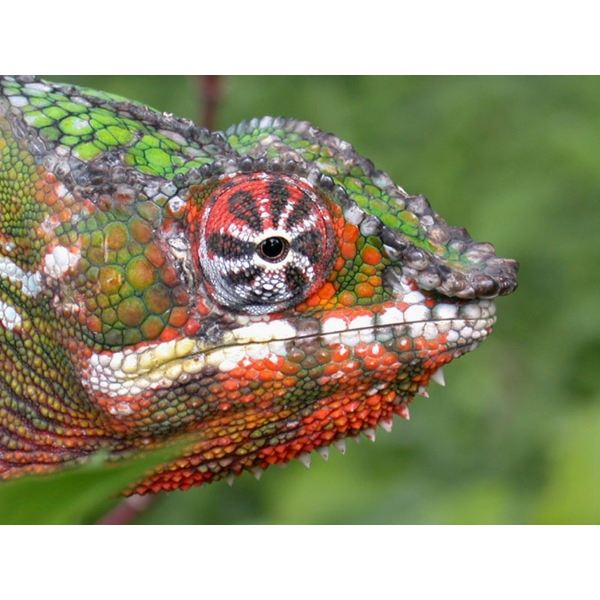 The Fascinating Chameleon: Facts About Its Physical Traits, Diet ...