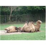 The relaxing camels appear trapped because of the background