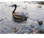 Oiled Bird - Black Sea Oil Spill 111207