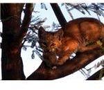 bobcat + prey