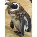 Moulting African Penguin