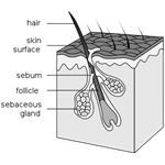 hair follicule Wikipedia Commons