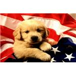 American Flag Puppy Wallpaper