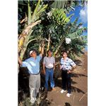 396px-Banana trees farm managers