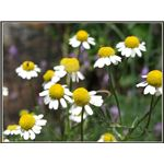 chamomile side effects