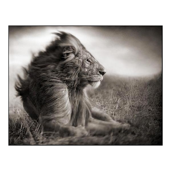 Black And White Photography Lion